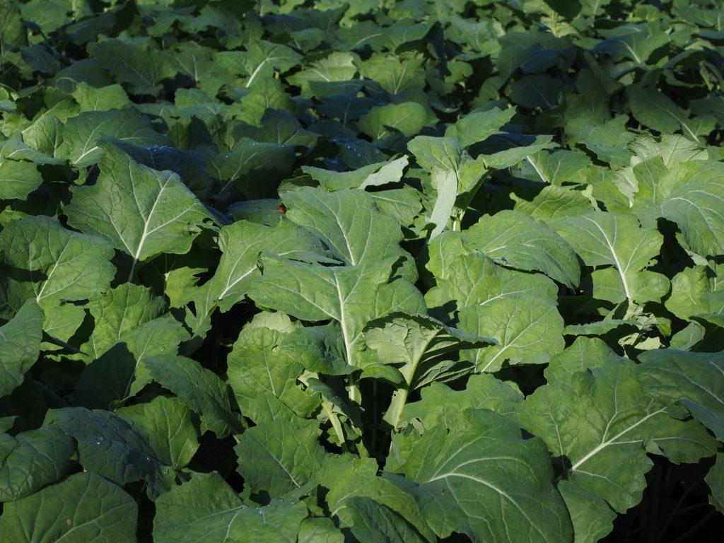 folhas usadas na plantação de uma adubação verde