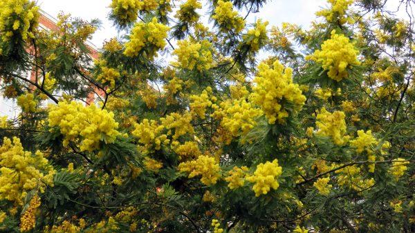 Bracatinga é árvore mais antiga do Brasil e popular pela versatilidade