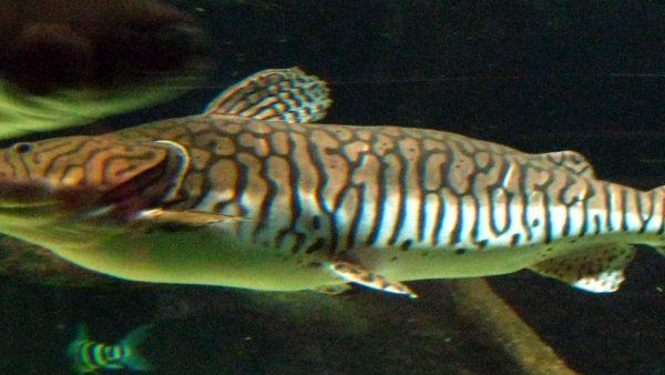 Surubim é um dos peixes mais populares do Brasil