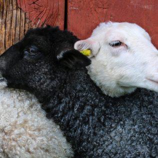 Aprisco com boas condições garante melhor produtividade aos ovinos