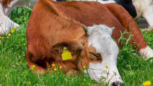 Brucelose bovina é doença que também pode afetar os seres humanos