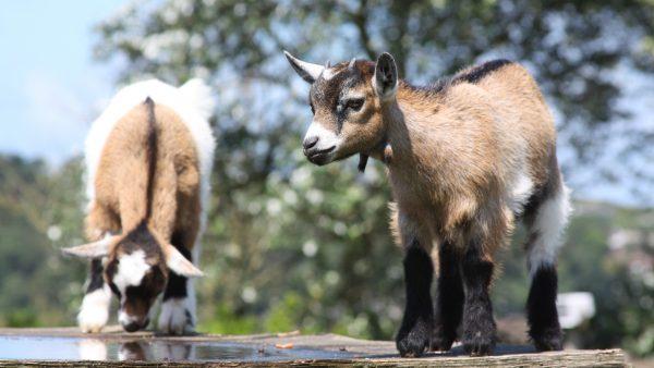 Cabrito ganha espaço na produção leiteira e como animal de estimação