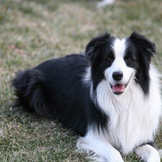 O cachorro pastor e a eficiência no pastoreio de rebanhos