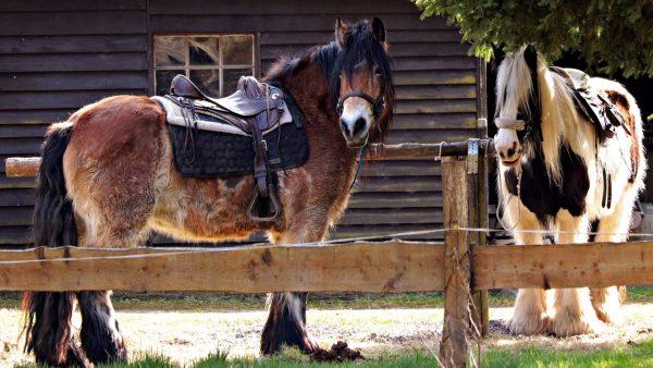 Cangalha é acessório utilizado por animais de carga