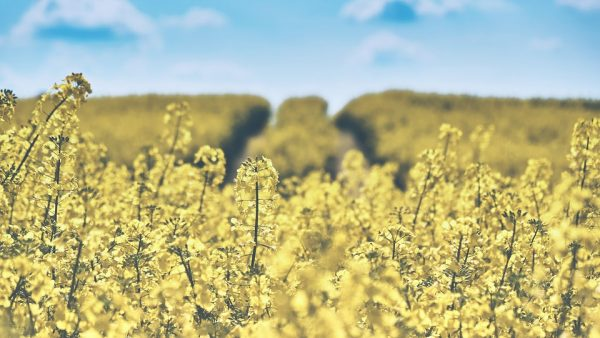 Colza destaca versatilidade de uso no mundo da agropecuária