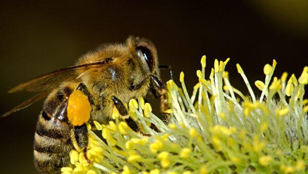 Enxame de abelhas: inteligência e renovação dentro da colmeia