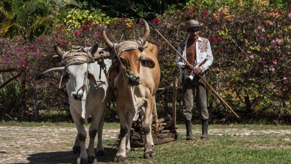 Maminha: saiba mais sobre este corte bovino e sua produção no Brasil