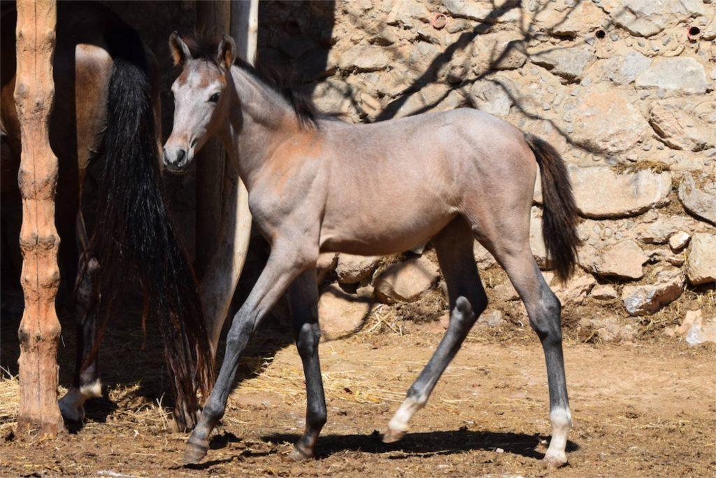 Raças de cavalo - Andaluz