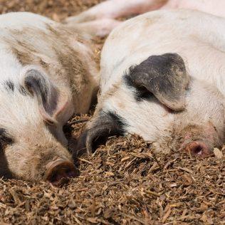 O que é suinocultura e qual sua importância no meio pecuário?