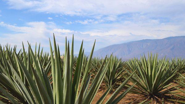 Agave é planta da qual se tira o néctar para a produção de tequila