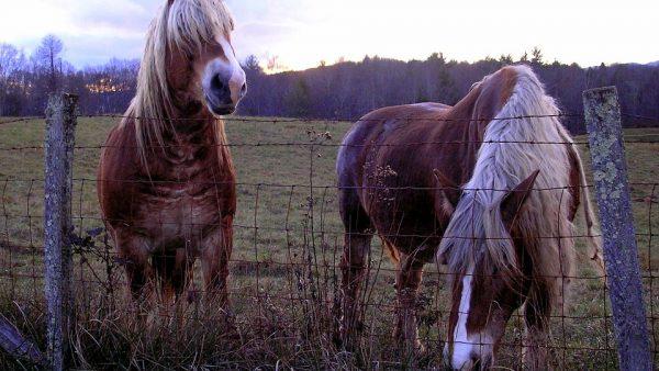 Cavalo belga é um dos mais antigos usados para tração