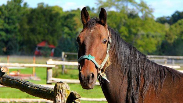 Cavalo Quarto de Milha é classificado como a raça mais veloz