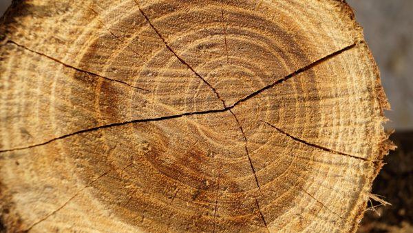 O cerne faz parte da estrutura da madeira e tem papel de sustentação