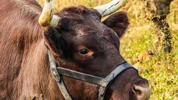 Devon é gado rústico e dócil que produz carne de alta qualidade