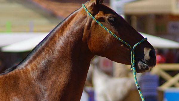 Mangalarga Marchador tem status de melhor raça para montaria