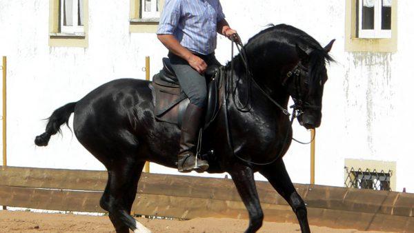 Puro-sangue lusitano é o cavalo de sela mais antigo do mundo