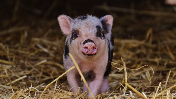 Raças de porco: produção brasileira é destaque na suinocultura