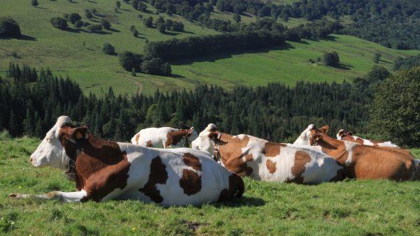 A verminose atinge o gado bovino e traz consequências para o pecuarista
