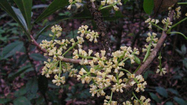 Embira é planta nativa da Mata Atlântica que atrai os pássaros