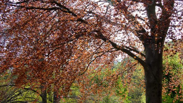 Faia é uma árvore frondosa que pode chegar aos 300 anos