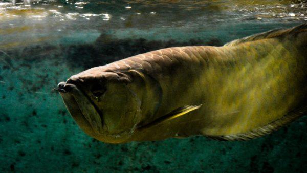Aruanã é peixe valorizado no mercado de pescados