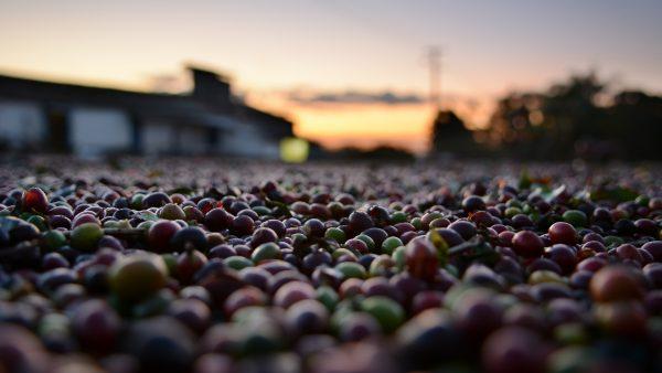 Cafeicultura e a sua importância no desenvolvimento econômico do Brasil