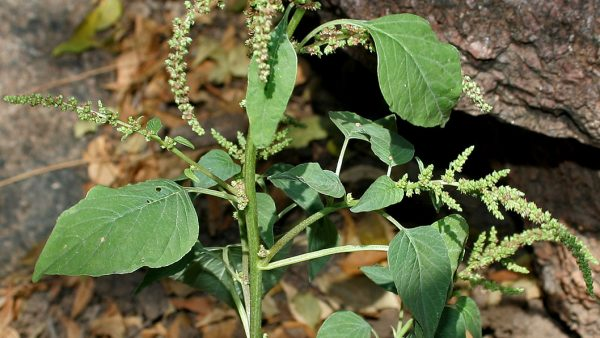Caruru é planta usada em alimentos e de forma medicinal