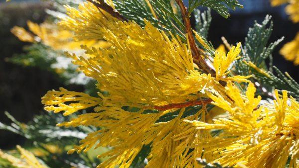 Árvore de cedro vai além do símbolo de força e longevidade