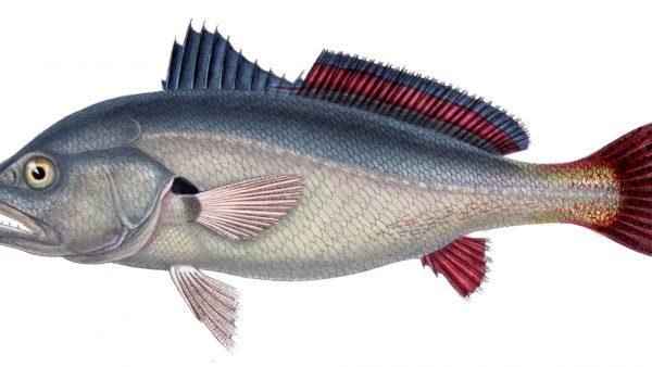Corvina é peixe apreciado por pescadores e consumidores