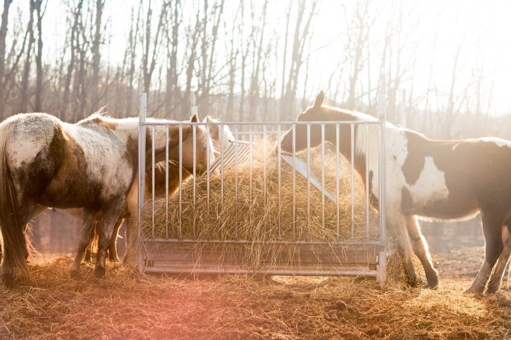 O feno pode servir como alimento para os animais