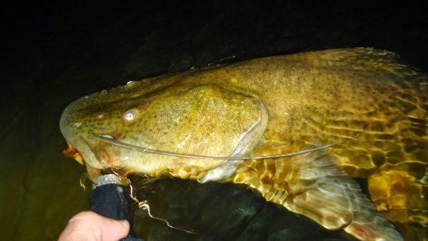 Jaú é destaque entre os maiores peixes de rio do Brasil