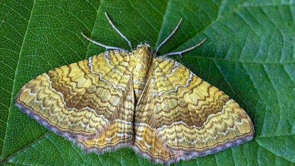 Mariposa é inseto importante para a agricultura e a biodiversidade