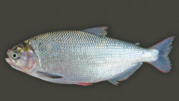 Matrinxã é peixe agressivo e popular na pesca esportiva