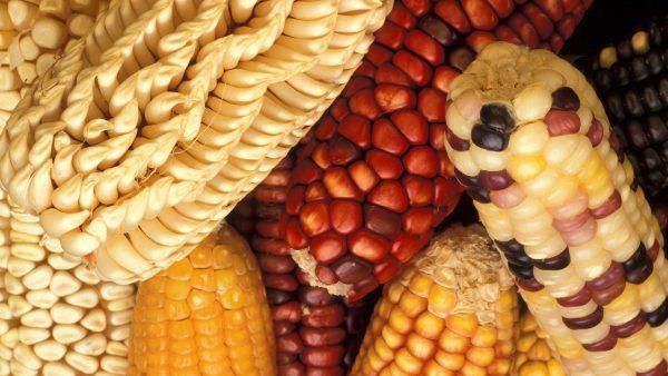 Mutação genética em plantas auxilia a produtividade de cultivos