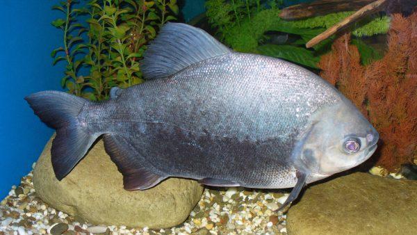Pacu é peixe requisitado no mercado nacional e internacional