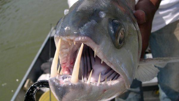 Peixe cachorra se destaca pelas presas grandes e afiadas