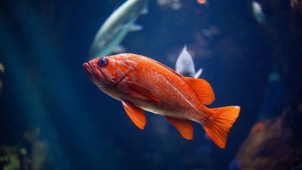Peixes de água doce por trás de suas particularidades