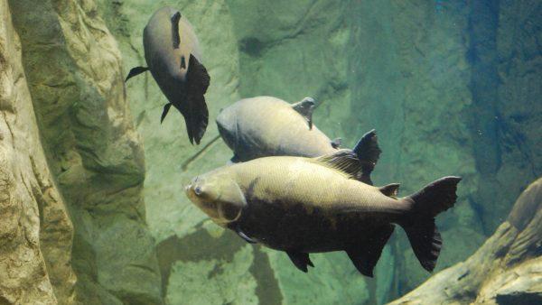 Tambaqui é pescado de água doce com alta procura no mercado