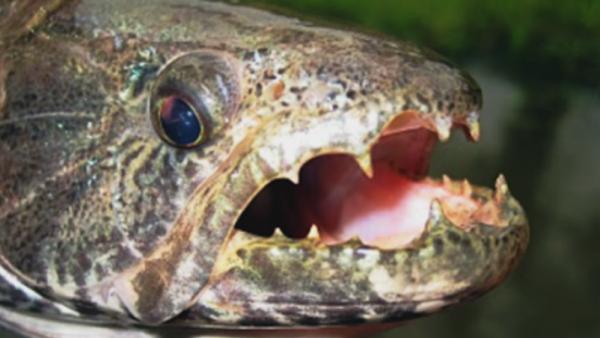 Traíra é espécie agressiva e uma das mais comuns no Brasil