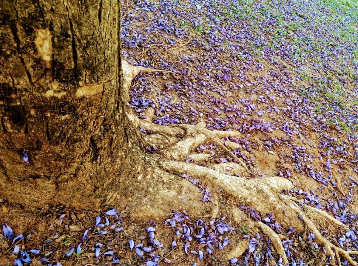 Folhas de jacarandá