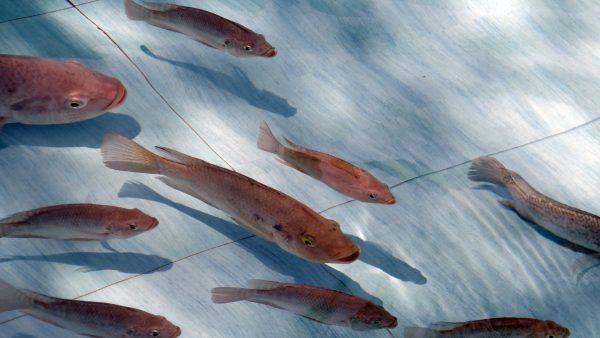 Aquaponia é um ciclo de produção que envolve peixes e vegetais