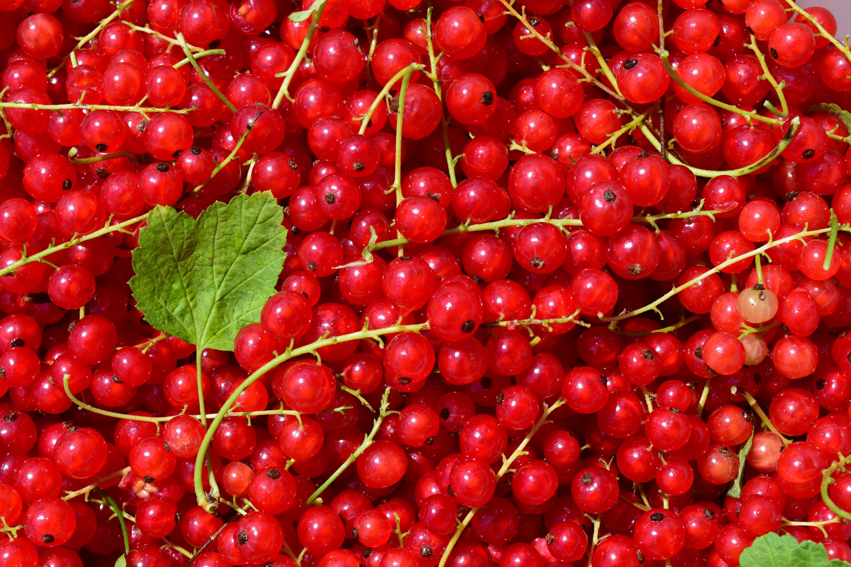A groselha é uma fruta rica em protéinas