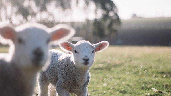 Ovelhas são animais dóceis que incentivam a economia de vários países