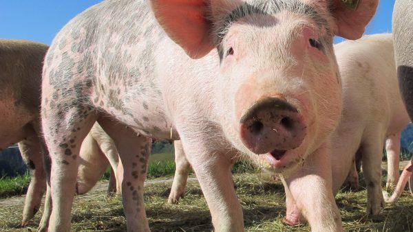 Porco é um dos animais mais importantes da pecuária