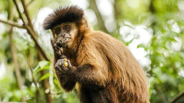 Macaco prego costuma invadir áreas cultivadas em busca de comida