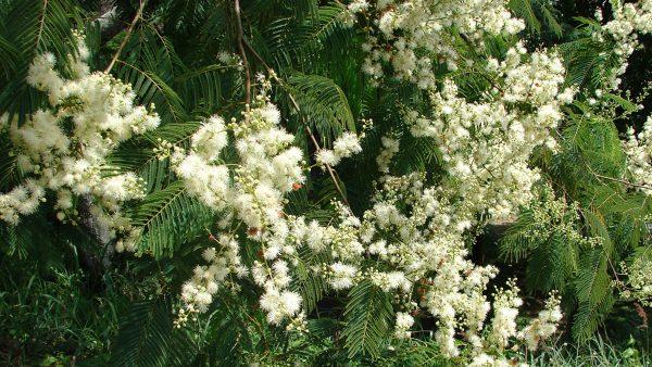 Angico é família de árvores conhecida por suas aplicações medicinais