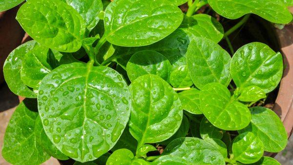Bertalha é uma verdura rica em nutrientes e muito consumida nos trópicos