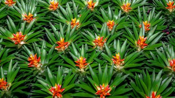 Bromélia é uma planta que reúne beleza e resistência