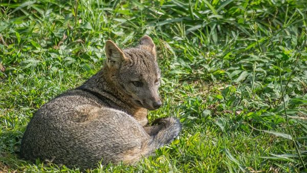 Cachorro do mato é um animal selvagem de hábitos solitários