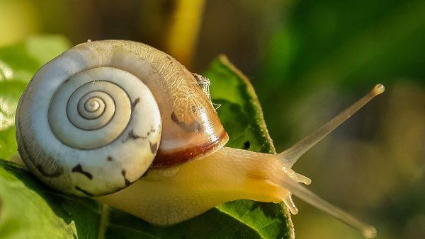 O caracol é considerado uma praga para a agricultura